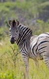 Einsamer Zebra, der zurück schaut Lizenzfreie Stockfotografie