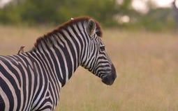 Einsamer Zebra mit einem Vogel Stockbilder