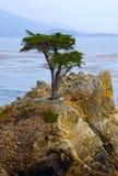 Einsamer Zypresse-Baum Stockfoto
