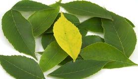 Einsames gelbes Blatt unter den Grüns (zentriert) Lizenzfreies Stockbild