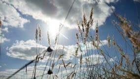 Einsames Gras trocken auf dem Gebiet auf Hintergrund des Herbstnaturbaums des blauen Himmels stock footage