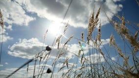 Einsames Gras trocken auf dem Gebiet auf Hintergrund des Himmelblau-Herbstnaturbaums stock video