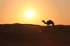 Einsames Kamel in einem Abend Sun Stockbilder
