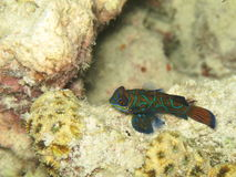 Einsames Mandarinfish Lizenzfreie Stockfotografie
