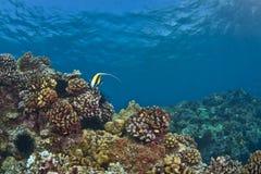 Einsames maurisches Idol auf einem hawaiischen Riff lizenzfreie stockfotos