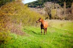 Einsames Pferd pferdeartig in einer offenen grasartigen Feldwiese lizenzfreies stockbild