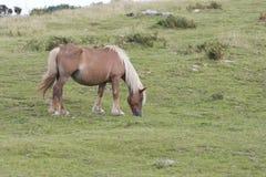 Einsames Pottoka-Pferd Stockbild