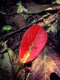 Einsames rotes Blatt im Wald Stockfotografie