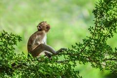 Einsames Sitzen des Affen auf einem Baum Stockfotos