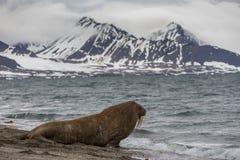 Einsames Walroß leitet das Wasser ein stockbild