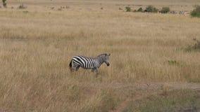 Einsames Zebra nickt sein Gesicht und lässt im hohen trockenen Gras der afrikanischen Savanne weiden stock video