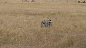 Einsames Zebra nickt sein Gesicht und steht im hohen, trockenen Gras der afrikanischen Savanne stock video