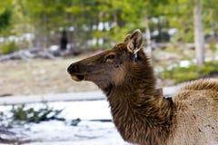 Einschüchternde erwachsene Elche starren unten an Lizenzfreies Stockfoto