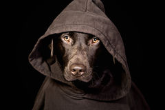 Einschüchternde Schokolade Labrador in der mit Kapuze Oberseite stockfotografie