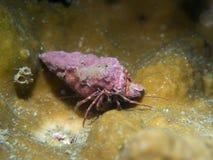 Einsiedlerkrebs auf der Koralle stockfoto