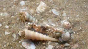 Einsiedlerkrebs auf Strand stock footage