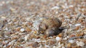 Einsiedlerkrebs auf Strand stock video