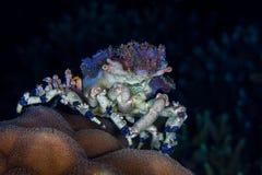 Einsiedlerkrebs Dardanus-calidus, mit Seeanemonen auf seinem Oberteil, U Lizenzfreies Stockfoto