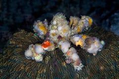 Einsiedlerkrebs Dardanus-calidus, mit Seeanemonen auf seinem Oberteil, U Lizenzfreies Stockbild
