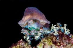 Einsiedlerkrebs Dardanus-calidus, mit Seeanemonen auf seinem Oberteil, U Stockfoto