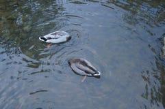 Eintauchen mit zwei Enten Lizenzfreies Stockbild