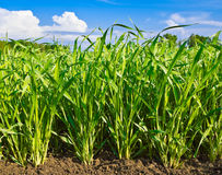 Eintragfäden der Getreide Stockbilder