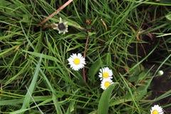Einzeln aufgeführt nah herauf Ansicht über grünes Gras und Wiesen mit einigen kleinen Blumen eingelassen Sommer stockbilder