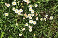 Einzeln aufgeführt nah herauf Ansicht über grünes Gras und Wiesen mit einigen kleinen Blumen eingelassen Sommer stockfotos