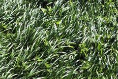 Einzeln aufgeführt nah herauf Ansicht über grünes Gras und Wiesen mit einigen kleinen Blumen eingelassen Sommer stockfotografie