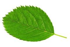 Einzeln   grünes Blatt lokalisiert auf weißem Hintergrund. stockfotos