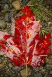 Einzeln, vibrierend, Rotahornblatt aus den Grund, Nord-Maine Stockbild