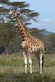Einzelne afrikanische Giraffe Stockfotos