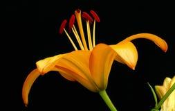 Einzelne asiatische Lilie, noch Leben auf Schwarzem Lizenzfreie Stockbilder