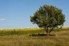 Einzelne Baumsonnenblumen lizenzfreies stockbild