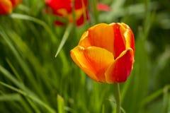 Einzelne beuatiful rote gelbe Tulpe, die noch am grünen Hintergrund steht Stockbilder