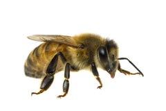 Einzelne Biene getrennt auf Weiß Stockfoto
