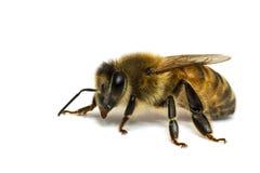 Einzelne Biene getrennt auf Weiß. stockfotografie