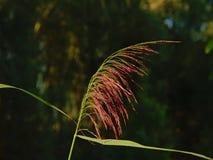 Einzelne blühende Reedgrasfeder Stockfotos