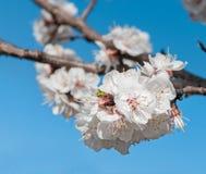 Einzelne Blüte Sungold-Aprikosen-(Prunus armerniaca) gegen Blau Lizenzfreies Stockfoto