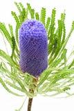 Einzelne blaue Banksiablume Stockfotos