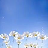 Einzelne Blume des Gänseblümchens auf blauem Himmel Lizenzfreies Stockfoto