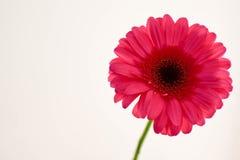 Einzelne Blume, Gerbera, mit weißem Hintergrund lizenzfreie stockfotografie