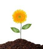 Einzelne Blume getrennt auf Weiß Lizenzfreie Stockfotos