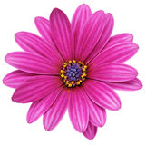 Einzelne Blume von Gazania. (Splendens-Klasse Asteraceae). Lokalisiert Stockfotos