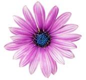 Einzelne Blume von Gazania. (Splendens-Klasse Asteraceae). Lokalisiert Stockfotografie