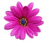 Einzelne Blume von Gazania. (Splendens-Klasse Asteraceae). Lokalisiert Lizenzfreies Stockbild