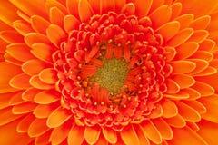 Einzelne Blume von orange Gerberamakro Stockfotografie