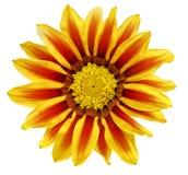 Einzelne Blume von Tiger Gazania. (Splendens-Klasse Asteraceae). ISO Stockbilder