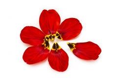 Einzelne Blumenblumenblätter einer Tulpe auf einem weißen Hintergrund Stockfotografie