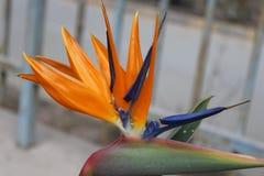 Einzelne canna Blume im Garten Stockfoto